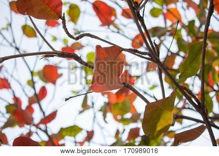 Backlit Photo Of Dipterocarpus Tuberculatus Roxb