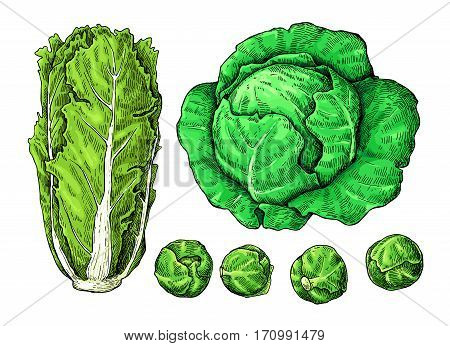 Cabbage hand drawn vector illustrations set. Chinese cabbage, brussel sprout. Isolated vegetable atistic style objects.  Detailed vegetarian food drawing. Farm market product.