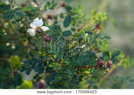 White flower and deflorated bud of a blooming wild rose in among green leaves.