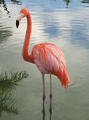 Beautiful pink flamenco in a lake in Caribbean poster