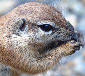 ground squirrel portrait poster
