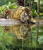 A Sumatran Tiger drinking froma pool of water. poster
