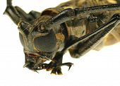 macro photo of long-horned beetle poster