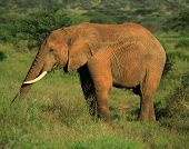African Elephant eating Samburu National Park Kenya**Note slight blurriness, best at small sizes. poster
