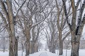 Alley of old elm trees in snow blizzard - historical Oval at Colorado State University campus, Fort Collins poster