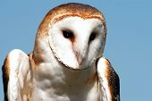 Barn owl looking right with clear blue sky poster