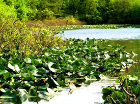 Pond And Plants
