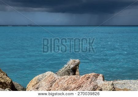 A Handsome Iguana Sitting Still On A Rock With The Backdrop Of The Turquoise Blue Caribbean Sea And