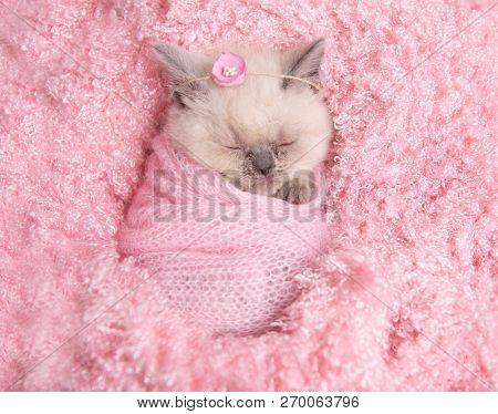 newborn british fluffy kitten sleeps on pink fur