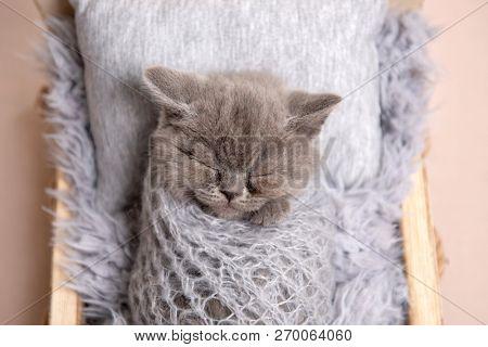 newborn british fluffy kitten sleeping in a small bed