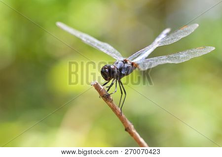 Dragonfly On Branch / Black Insects Dragonfly Resting Tree Beautiful Nature Green Background - Macro