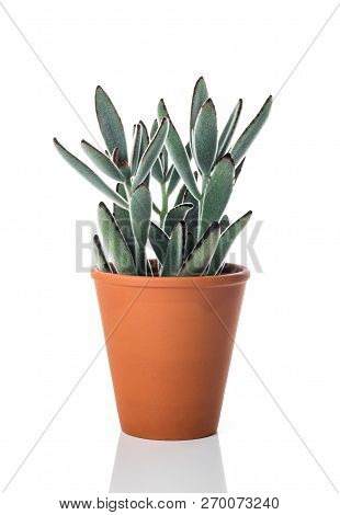 Kalanchoe Tomentosa (panda Plant), In A Clay Pot, Isolated On White Background.