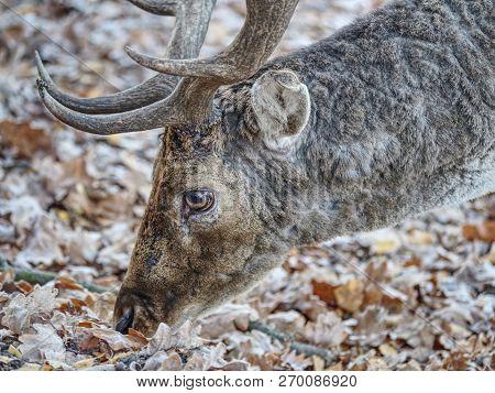 Sturdy fallow deer feeds on beechnut hidden in dry leaves. poster