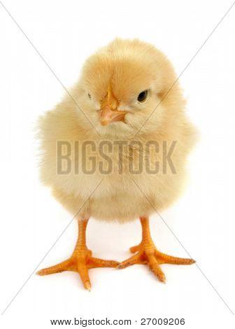 Newborn yellow chick