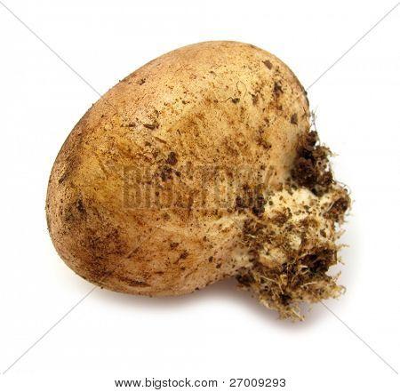 Pigskin poison puffball common earthball poster