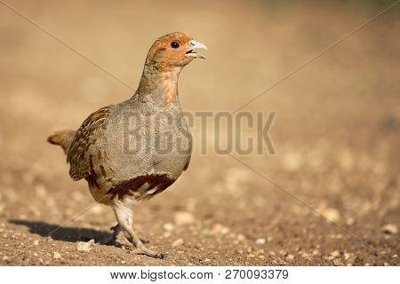 Grey Partridge Partridge In A Beautiful Light.