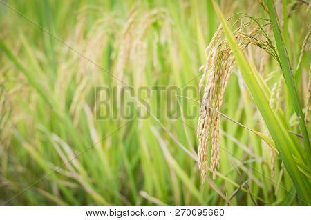 Field of wheat with copy space ,for product display montage,can be used for montage or display your