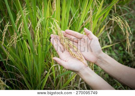 Rice In Woman Hand With Copy Space ,for Product Display Montage,can Be Used For Montage Or Display Y