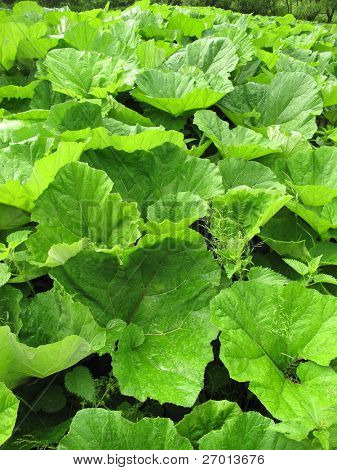 Petasites plant with large leaves Butterbur poster