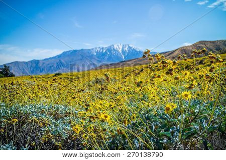 Yellow Brittlebush Blooms In Palm Spring, California