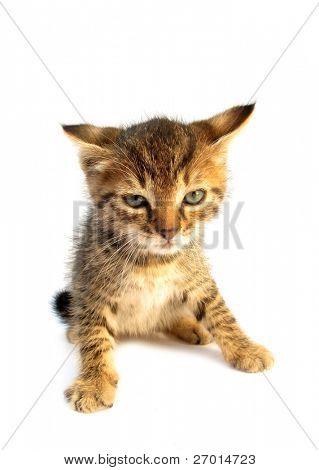 Cat baby kitty