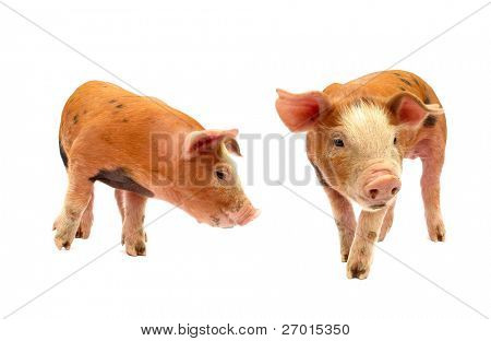 Pigs baby piglets