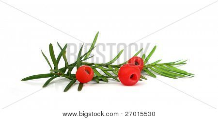Yew Taxus baccata branch and fruit cones poster