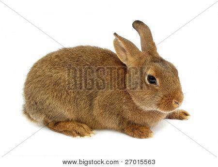 Rabbit bunny isolated on white background
