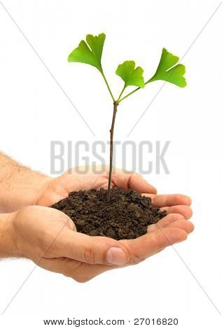 Ginkgo biloba three grows in human hands
