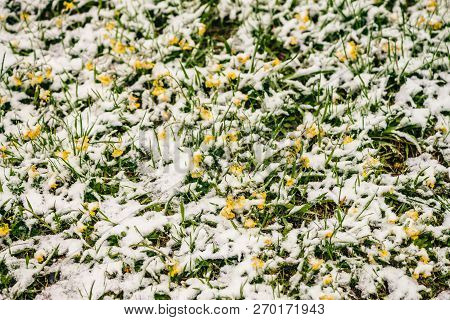 Small Yellow Bright Flowers Grows Among Green Grass, Covered White Snow. Background Image Of Frozen