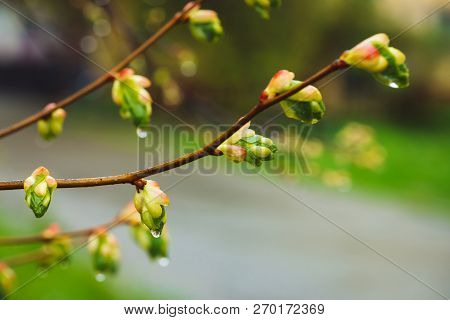 Beautiful Linden Branches With Flowering Buds Close-up In Rain Spring Time. Picturesque Branches Of