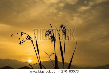 Oat Plants At The Early Morning, Selective Focus On Plants, Concept Of Rich Harvesting