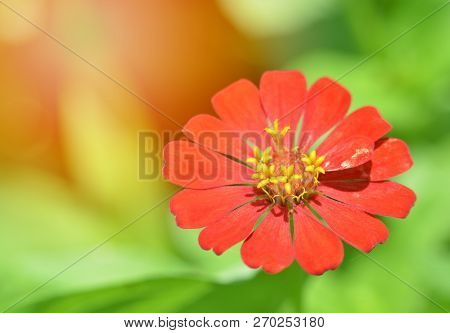 Red Zinnia Flowers / Close Up Of Flower Red Zinnia Blossoming On Nature Green Background