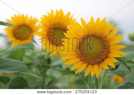 Bright Day, Smiling Sun Flower Welcoming New Day, What A Fresh Start To See The Beauty Of Nature.