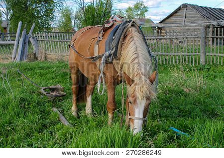 The Harnessed Horse Is Eating A Grass In A Corral. One Bay Gelding Of Mezen Breed Is In Village.