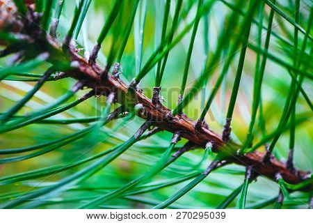 A Bright Evergreen Pine Three Branch, Needles Macro View.  Abstract Fir-tree, Conifer, Spruce Close