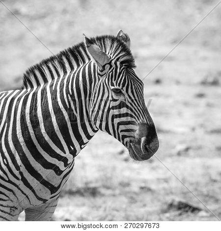 Plains Zebra Portrait Black And White In Kruger National Park, South Africa ; Specie Equus Quagga Bu