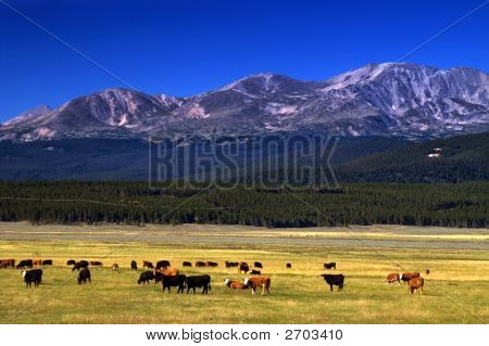 Cattle On The Colorado Range