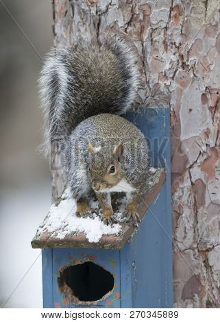 Eastern Gray Squirrel (sciurus Carolinensis) Sitting On Top Of A Bird House In Winter - Ontario, Can
