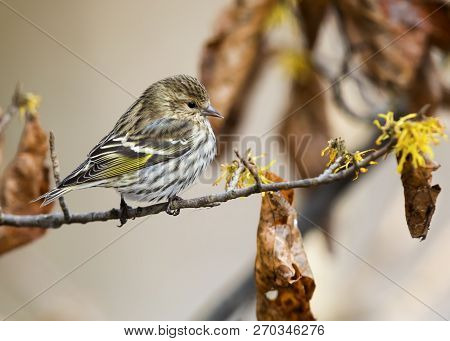 Pine Siskin (spinus Pinus) Perched On A Witch Hazel Branch In Late Autumn - Ontario, Canada