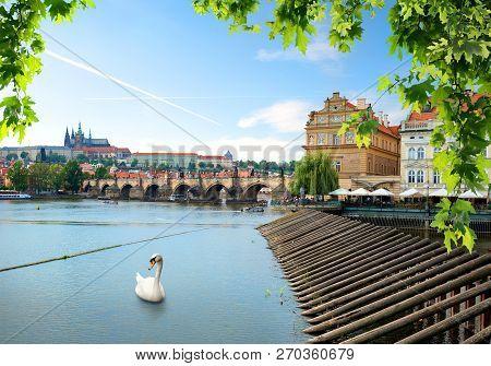 White Swan Near Ancient Charles Bridhe In Prague