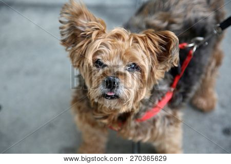 dog. A very old small dog on a leash. Small brown dog out for a walk in downtown Los Angeles California.