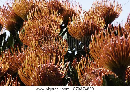 Lavish Silver-edge Pincushion Protea Flowers (leucospermum patersonii) In Bloom poster