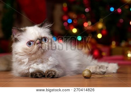 Cute Persian Colorpoint Kitten Lies In Front Of A Christmas Tree Background