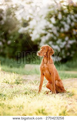 Hungarian Pointing Dog, Vizsla Sit On Grass. Grass And White Trees On Background