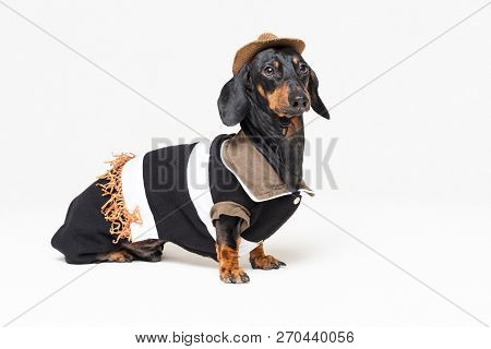 Funny Dachshund Dog With Cowboy Costume And Western Hat Isolated On Gray Background.