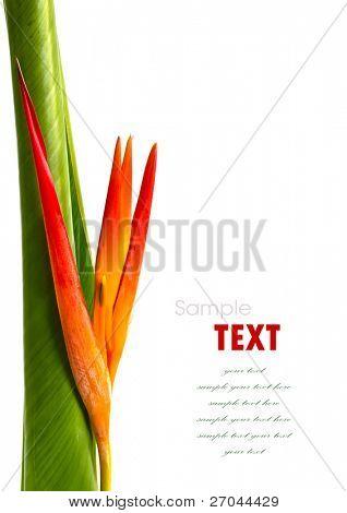 Beautiful orange flowers (Bird of paradise) isolated on white background poster