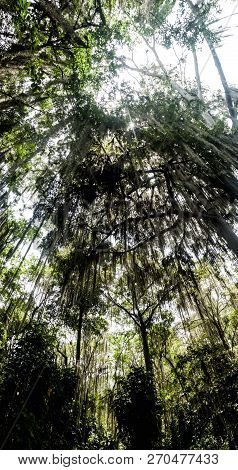Trees Covered By Spanish Moss Tillandsia Usneoides Callled Also Barba De Viejo Old Mans Beard In El