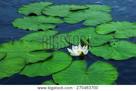 Flower Of White Lily Or Lotus And Small Dragonfly Close-up Among The Leaves Floating On The Glisteni