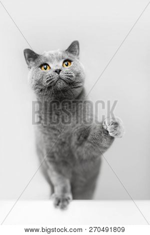 Cute grey cat raising his paw, playing. British shorthair cat, purebred pet.